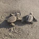Pretoma-Turtle-Rescue-Release