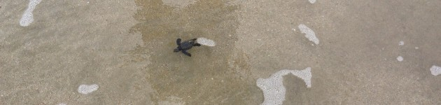 sea turtles nesting costa rica